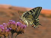 Machaon180.jpg